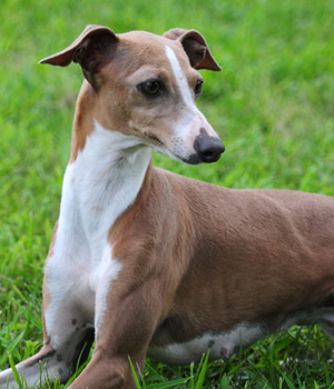 Italian Greyhound Brite Lite