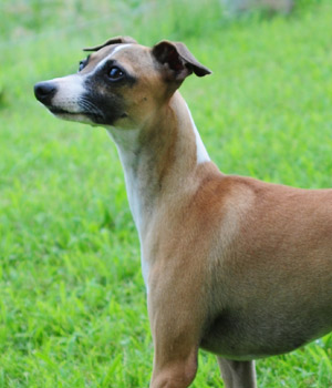 Italian Greyhound Triumphant Faith