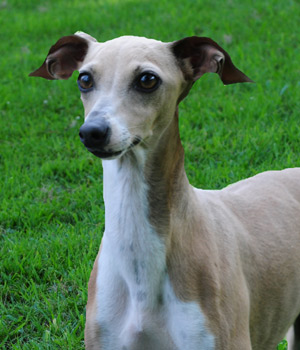 Italian Greyhound Hoppy Hope