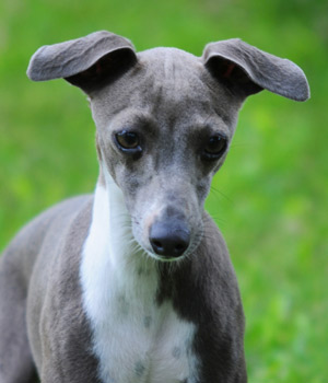 Italian Greyhound Joybells