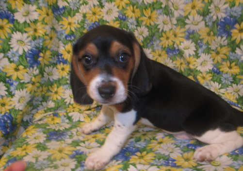 Beagle:  RESERVED for Eric!!