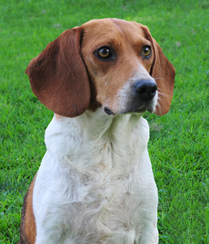 Our beagle Taylor