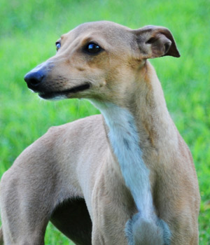 Italian Greyhound Peace