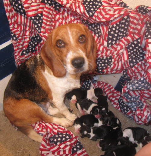 Beagles:  Candy with her new Puppies !